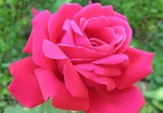 Beautiful-pink-rose